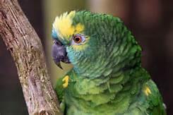 Groene papegaai