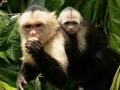 Kapucijnapen